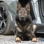 A1K9s Protection Dog Fanto