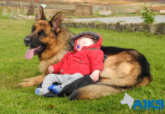 A1K9 Family Protection Dog Babysitting img
