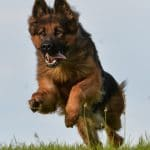 A1K9s Protection Dog Javir Running