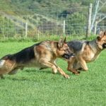 A1K9s Protection Dogs Xavier and Bella