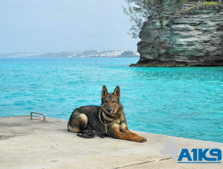 A1K9-family-protection-dog-5