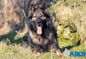A1K9-family-protection-dog-Q7