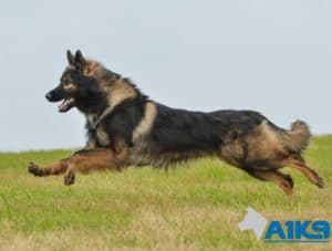A1K9s Protection Dog Albert Running