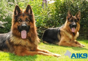 A1K9 family protection dogs Q2