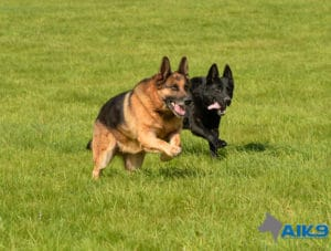 A1K9s Protection Dogs Spike and Kali