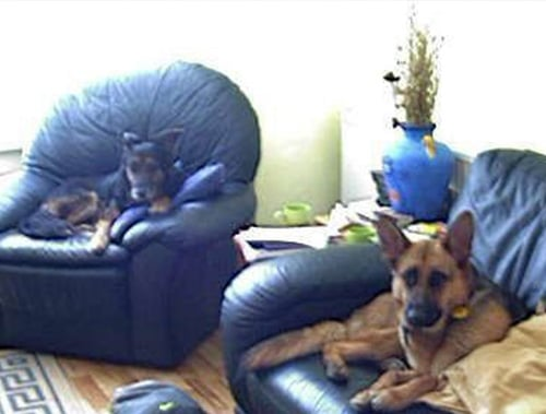 A1K9 Protection Dogs in New Home