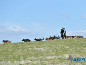 A1K9s Protection Dogs Group Walk