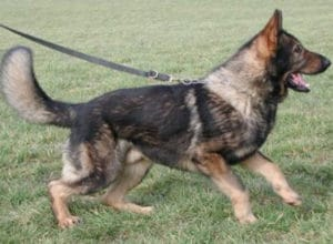 Trained Family Protection Dog (Sold) - Ace