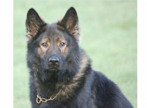 Trained Family Protection Dog (Sold) - Adam