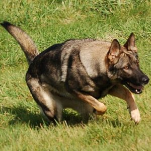 Trained Family Protection Dog (Sold) - Adel