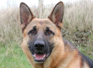 Trained Family Protection Dog (Sold) - Alfie
