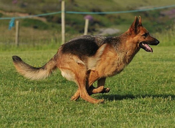 Trained Family Protection Dog (Sold) - Aliz