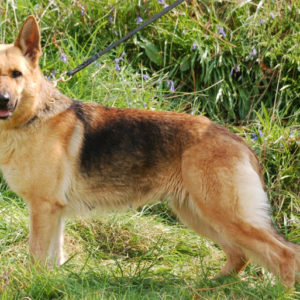 Trained Family Protection Dog (Sold) - Amber