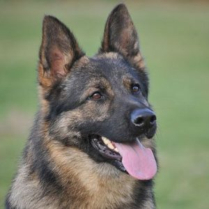 Trained Family Protection Dog (Sold) - Amor