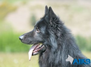 Trained Family Protection Dog (Sold) - Aris