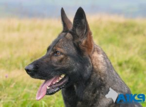 Trained Family Protection Dog (Sold) - Ash