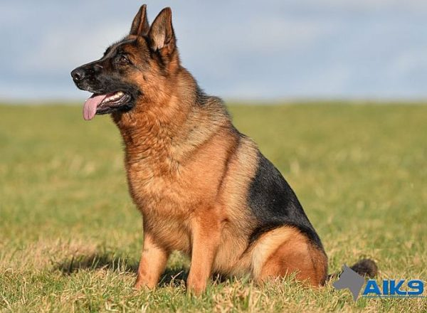 Trained Family Protection Dog (Sold) - Bara