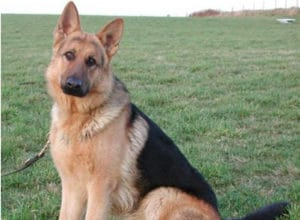 Trained Family Protection Dog (Sold) - Barley
