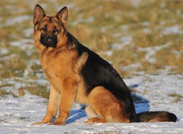 Trained Family Protection Dog (Sold) - Bax