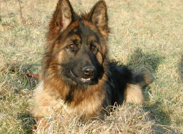 Trained Family Protection Dog (Sold) - Becky