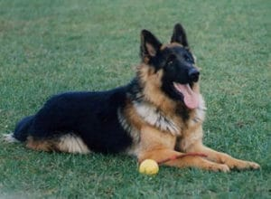 Trained Family Protection Dog (Sold) - Ben