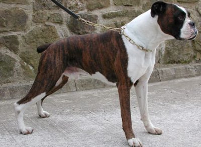 Trained Family Protection Dog (Sold) - Benji