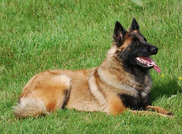 Trained Family Protection Dog (Sold) - Betty