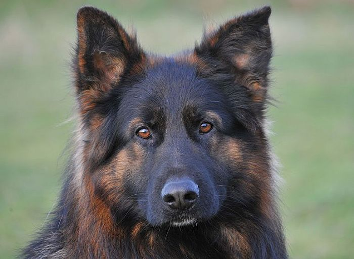 Trained Family Protection Dog (Sold) - Bilko