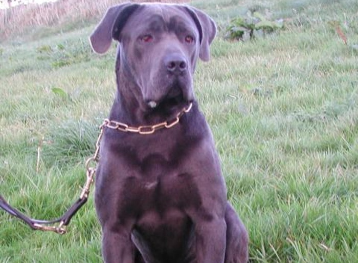 Trained Family Protection Dog (Sold) - Blaine