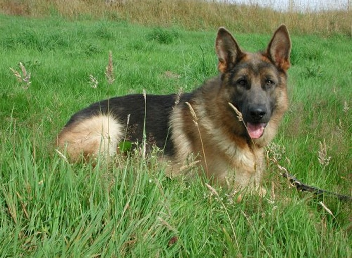Trained Family Protection Dog (Sold) - Blue