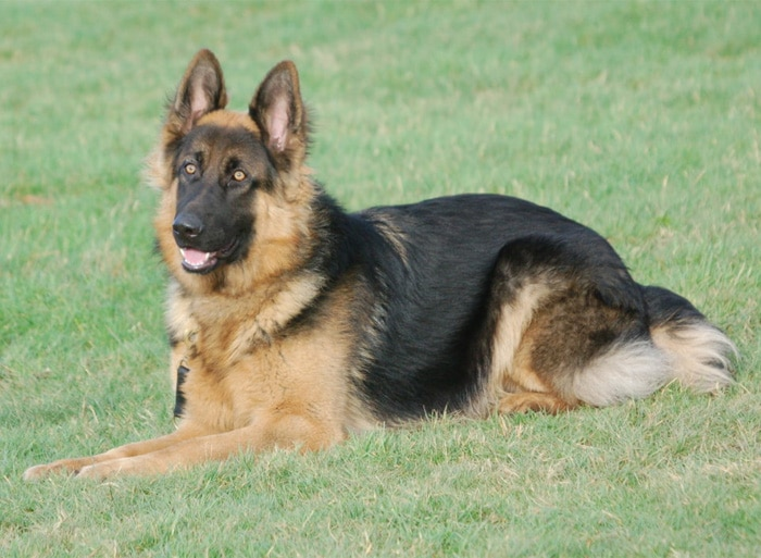 Trained Family Protection Dog (Sold) - Bob