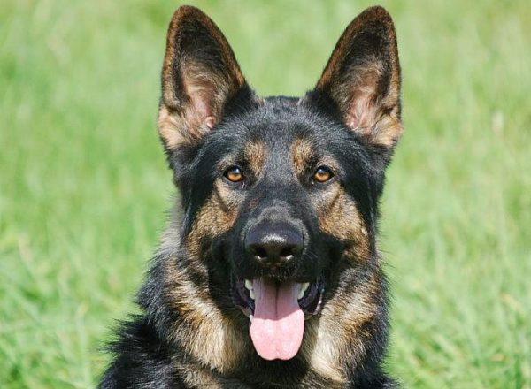 Trained Family Protection Dog (Sold) - Bodie
