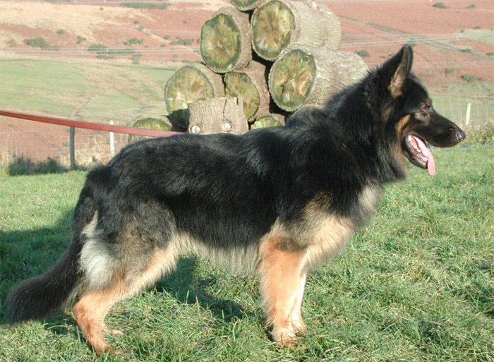 Trained Family Protection Dog (Sold) - Boss