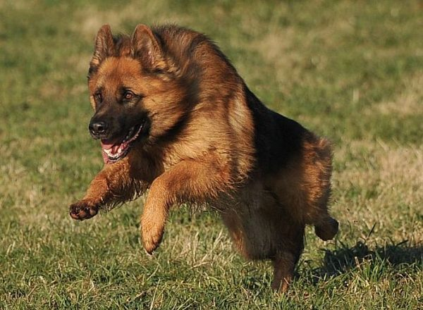 Trained Family Protection Dog (Sold) - Bruno