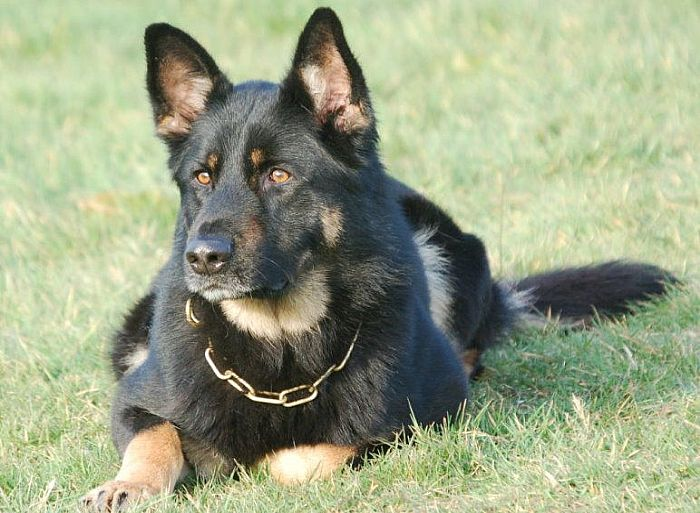 Trained Family Protection Dog (Sold) - Bud