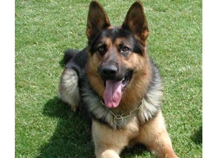 Trained Family Protection Dog (Sold) - Caeser
