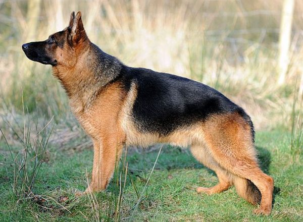 Trained Family Protection Dog (Sold) - Vait