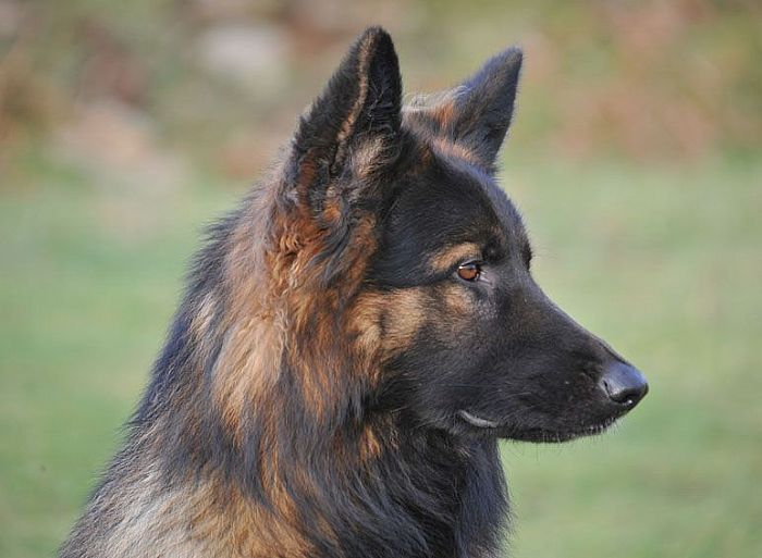 Trained Family Protection Dog (Sold) - Wasko