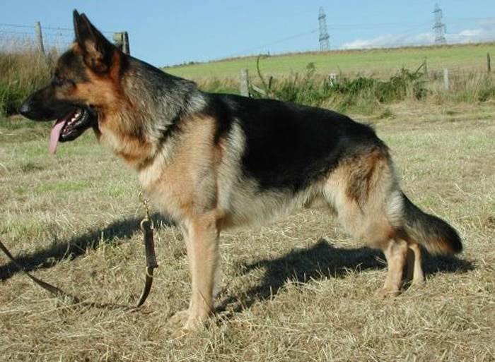 Trained Family Protection Dog (Sold) - Wolfie