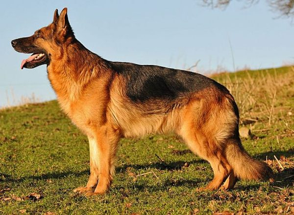 Trained Family Protection Dog (Sold) - Xavier