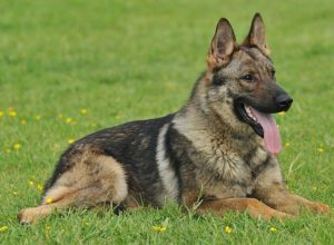 Trained Family Protection Dog (Sold) - Yambo