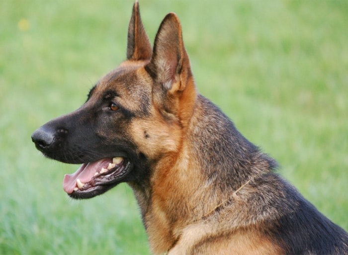 Trained Family Protection Dog (Sold) - Yango