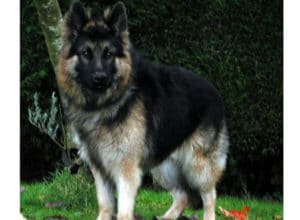 Trained Family Protection Dog (Sold) - Zack