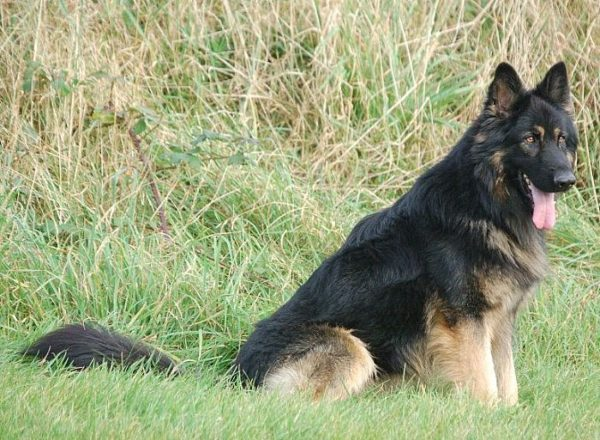 Trained Family Protection Dog (Sold) - Zak