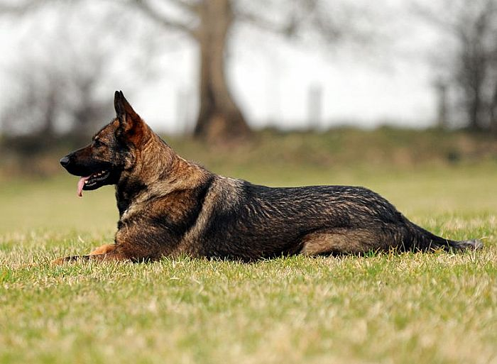 Trained Family Protection Dog (Sold) - Zaki