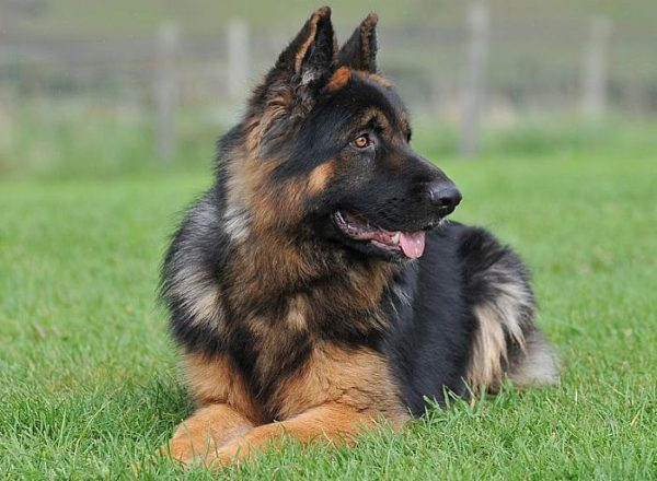 Trained Family Protection Dog (Sold) - Zeus