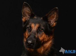 Trained Family Protection Dog (Sold) - Zira