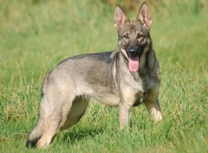 Trained Family Protection Dog (Sold) - Zita