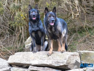 A1K9s Protection Dog Dante and Connie