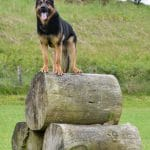 Trained-A1K9-Personal-Protection-Dog-Cirus-on-the-logs-0272